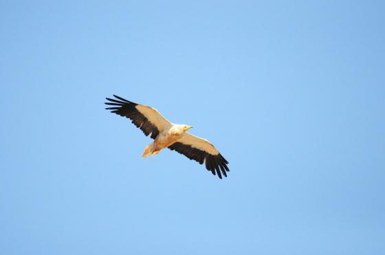 Significant Population of Egyptian Vultures Discovered