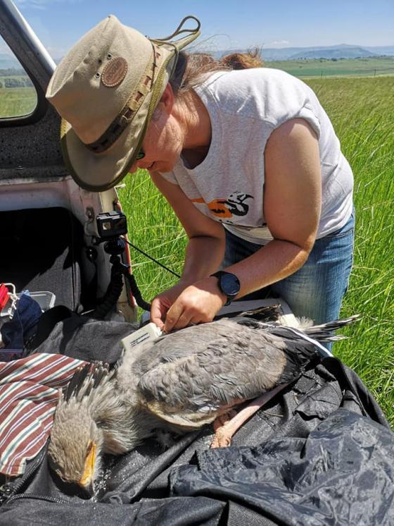 Unlocking dispersal mysteries of SA's juvenile Secretarybirds