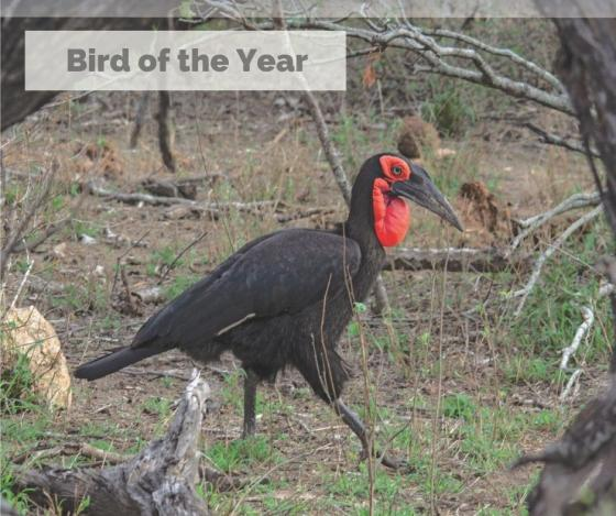 Southern Ground-Hornbill awarded Bird of the Year