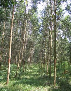 Special Issue: Sustaining the Future of Acacia Plantation Forestry