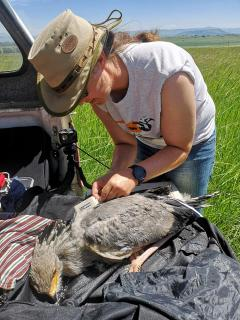 Unlocking dispersal mysteries of SA's juvenile Secretarybirds